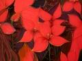 Красные цветы (шёлк, 80х68, 2005)